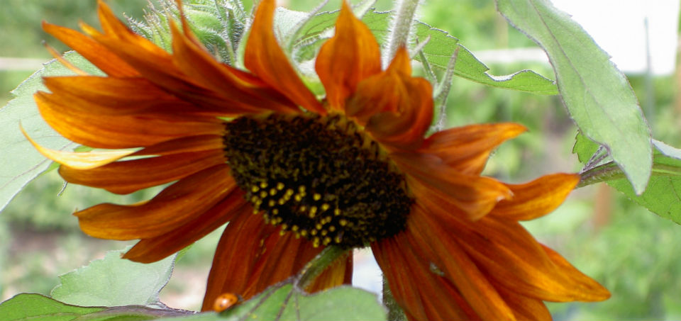 sunflower_2pixlr.jpg