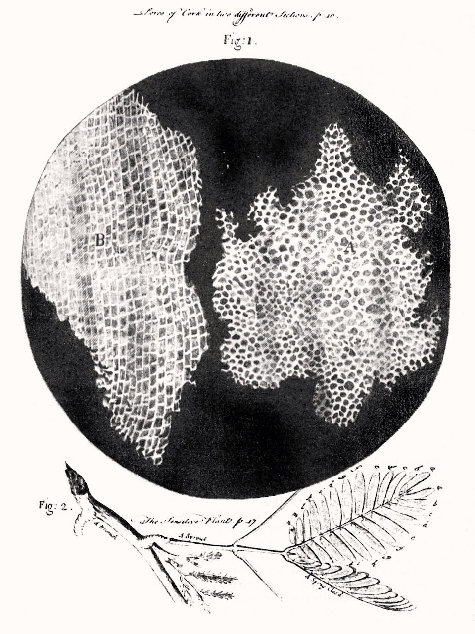 RobertHookeMicrographia1665.jpg